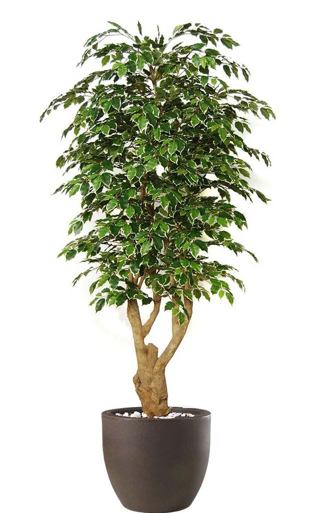 Piante Da Appartamento Ficus : Piante da appartamento casa del fiore di salvatore