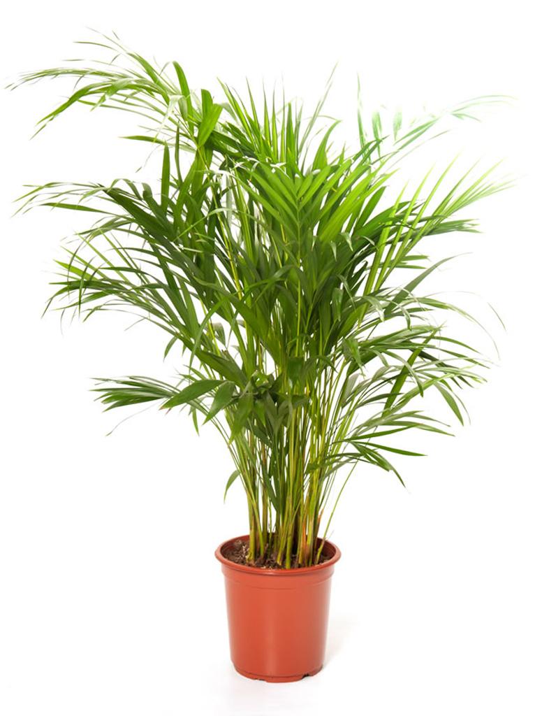 Papiro pianta tutte le offerte cascare a fagiolo for Pianta kenzia